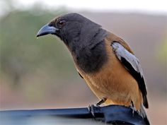 Tiger Bird-Indian rufous treepie Cute lovely Bird Pictures from bird wildlife nature photos gallery, wild pics,animals photos,free birds pictures
