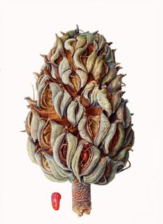Magnolia Grandiflora Seed Head
