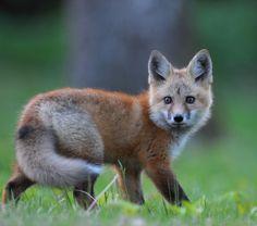 """beautiful-wildlife:  """" Red Fox by Antoni Zaborek  """""""