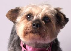 Poinsettia is available for adoption through National Mill Dog Rescue (as of today, Oct. 5, 2014).  She is so sweet and gentle!