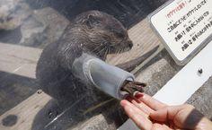 Lontra 'cumprimenta' visitante de zoológico em Ichikawa, no Japão (Foto: Koji Ueda/AP)