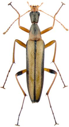 Stenotrachelidae - Pesquisa Google