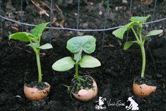Cultivarea castravetilor si ciupirea lor - magazinul de acasă Vegetable Garden, Homesteading, Succulents, Vegetables, Bar, Agriculture, Tomatoes, Plant, Lawn And Garden