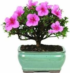 Brussel's Satsuki Azalea Outdoor Bonsai Tree for $32  pickup at Walmart #LavaHot http://www.lavahotdeals.com/us/cheap/brussels-satsuki-azalea-outdoor-bonsai-tree-32-pickup/171955?utm_source=pinterest&utm_medium=rss&utm_campaign=at_lavahotdealsus