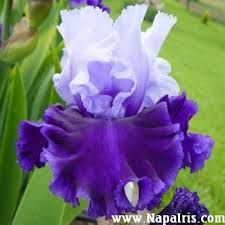 Image result for bearded iris RAINY RIVER