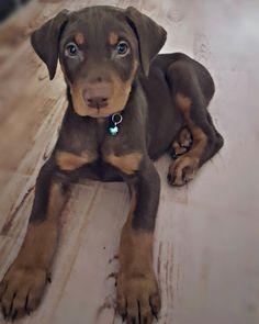 The Blue Doberman Pinscher. Doberman Puppy Red, Doberman Pinscher Blue, Doberman Puppies For Sale, Doberman Love, Baby Puppies, Dogs And Puppies, Big Dogs, Doggies, Rottweiler