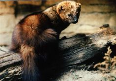 Pacific fishers, weasel-like creatures that once ranged throughout the Pacific coast mountain ranges, were denied placement on the endangered species list. Photo: Mbond