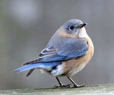 Birds of Eastern North America | Eastern Bluebird, female, Durham County, North Carolina, United States ...