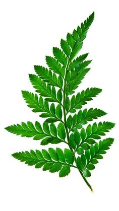 Green fern leaf isolated on a white background – banque photo libre de droits Fern Tattoo, Plant Tattoo, Tattoo Arm, Leave In, Arte Floral, Botanical Illustration, Botanical Prints, Floral Prints, Hanging Ferns
