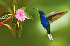 Keep an eye out for the beautiful Hummingbird, flying around Tobago