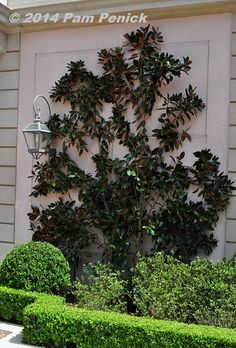 Perhaps Magnolia grandiflora 'Little Gem'? Now that's interesting, and do-able for any skilled gardener on a smaller budget. See? There's always a takeaway.