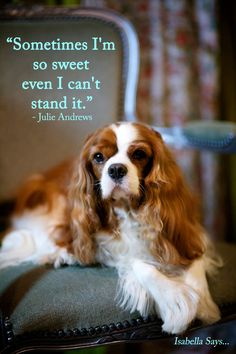 Cavalier King Charles Spaniel – Graceful and Affectionate King Charles Puppy, Cavalier King Charles Dog, King Charles Spaniel, Jiff Pom, Cavalier King Spaniel, Spaniel Puppies, Dog Life, I Love Dogs, Best Dogs