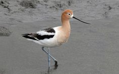 American Avocet in Breeding Plumage