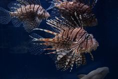 More commonly known as the lionfish, the aggressive pterois is a beautiful sight in the Indo-Pacific, but less so in the Atlantic and Caribbean. http://aquaviews.net/explore-the-blue/fearsome-fish-aggressive-pterois/