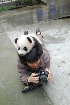 Sir, there is a panda on your head. I am jealous. I want a Panda Hug Niedlicher Panda, Panda Funny, Cute Panda, Cute Baby Animals, Animals And Pets, Funny Animals, Baby Pandas, Baby Panda Bears, Panda Lindo