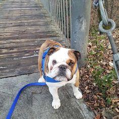 Bulldog in the park! #bulldogwrigley #wrigleythebulldog