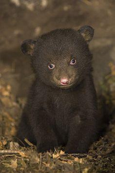 7 weeks old black bear cub in denbySuzi Eszterhas