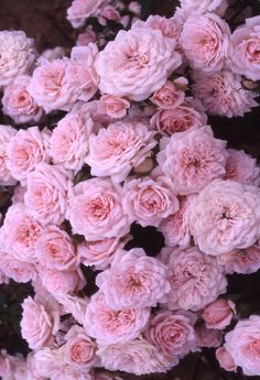 Pretty pink roses...love!