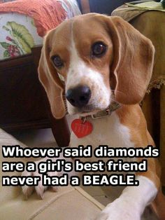 Are you interested in a Beagle? Well, the Beagle is one of the few popular dogs that will adapt much faster to any home. Whether you have a large family, p Dog Training Methods, Dog Training Techniques, Best Dog Training, Baby Beagle, Beagle Puppy, Pet Dogs, Dogs And Puppies, Dog Cat, Doggies