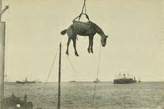 horse destined for war being offloaded, boer war, c. 1900