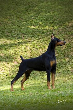 Doberman Dogs, Doberman Pinscher, American Doberman, Dogs Doing Funny Things, Service Dogs, Dog Grooming, Beautiful Creatures, Dog Breeds, Rottweilers