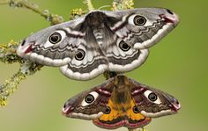 There have been more than species of monster moths recorded in Great Britain, and many come with names as strange as themselves Leopard Moth, Moth Drawing, Dragon Time, Moth Species, Colorful Moths, Emperor Moth, Moth Wings, Moth Tattoo, Butterflies