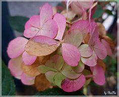 Hortensie...by CharMa Plants, Pictures, Limelight Hydrangea, Flowers, House, Flora, Plant, Planting