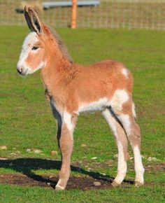 Spotted Mule baby