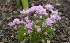 """Sea Thrift 'Victor Reiter'. Armeria maritima. 6-8"""" tall. Blooms May. Reblooms with deadheading. Lighter pink than most."""