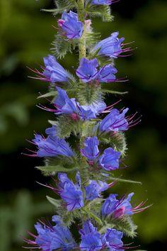 Flower Landscape In Garden Blue Flowers, Wild Flowers, Bee Friendly Plants, Alpine Plants, Flower Landscape, Growing Grapes, Native Plants, Horticulture, Botanical Gardens