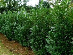 Shrubs Love this plant.Skip Laurels (botanical name is Prunus laurocerasus 'Schipkaensis',) Bamboo Garden Fences, Fence Plants, Garden Shrubs, Backyard Fences, Backyard Privacy, Backyard Retreat, Backyard Ideas, Shrubs For Privacy, Privacy Landscaping