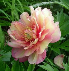 . . . awed by the amazing beauty of tree peonies, such as this Itoh Tree Peony 'Julia Rose'. . . I have many of these in my yard, needing some years to mature but I'm willing to wait