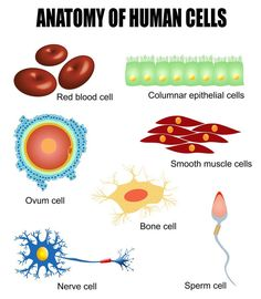 Science biology anatomy Human cells: different types of cells found in our body