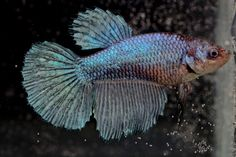 Turquoise Halfmoon Female Betta Fish Bred in The USA | eBay