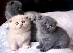 Scottish Fold Kittens. I had a kitten that looked like this. Hubby didn't want it because of the smush face. But I kept her. :O)