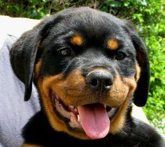 Rottweiler puppy! #socute #rottweiler