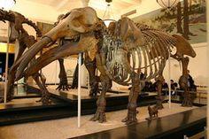 Prehistoric Elephant Pictures: Gomphotherium