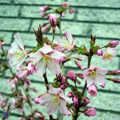 Japansk bjergkirsebær (Prunus nipponica 'Ruby') opstammet