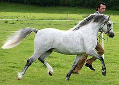Sunwillow Kingslake - Welsh mountain  pony stallion (section A)