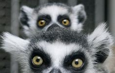A baby ring-tailed lemur cuddles with its mother in their enclosure at Ueno Zoo in Tokyo (November 2009)