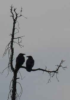 Raven Negative Space | Ravens look best in silhouette. | Corbeau du Nord | Flickr