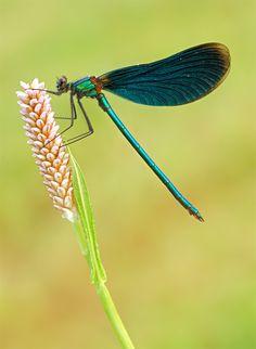 Dragonfly (near river Honne, Germany)