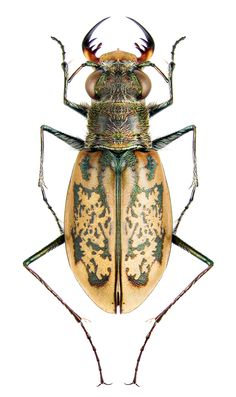 Cylindera Plectographa nivea orbignyi (Guerin-Meneville, 1839) F Carabidae