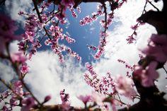 La floración espectacular del melocotón