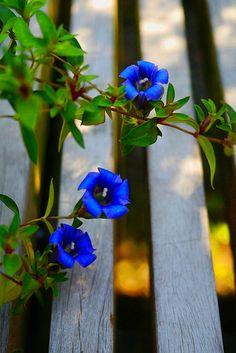 Sweet little blue flowers Flora Flowers, Blue Flowers, Beautiful Flowers, Bloom Where Youre Planted, Cottage Garden Design, Blue Garden, Plant Pictures, Garden Trellis, Container Flowers