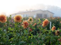 Learn how to control weeds in your cut flower garden or flower farm without the use of harmful chemicals by using landscape fabric. Garden Site, Garden Posts, Garden Ideas, Transplanting Plants, Growing Sweet Peas, Succession Planting, Growing Dahlias, Cut Flower Garden, Flower Gardening