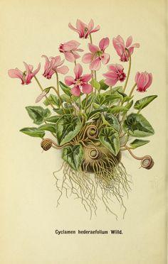 Deutsche botanische Monatsschrift :. Sondershausen :Verlag der Redaktion,1883-1912.. biodiversitylibrary.org/page/43602728