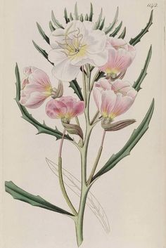 Innocence Evening Primrose, Oenothera pallida. Large, white, sweetly fragrant blooms age to a pleasing appleblossom pink (1828).
