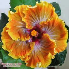 Fiery Furnace Hibiscus - Google Search