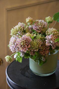 clematis shi-shin-den 紫宸殿 - fleurs tremolo